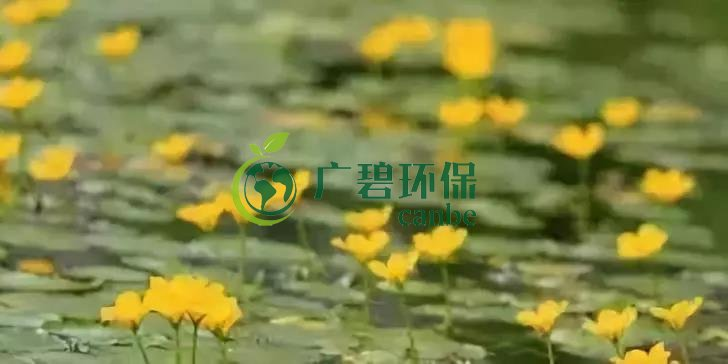 河道治理:水生植物的选择与种植